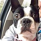 Adopt A Pet :: Hokie (Has Application)
