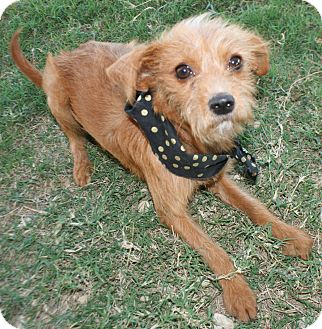 Yorkie, Yorkshire Terrier/Terrier (Unknown Type, Small) Mix Dog for adoption in Pilot Point, Texas - Nataliya