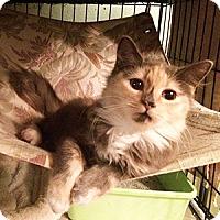 Calico Kitten for adoption in Metairie, Louisiana - Madison