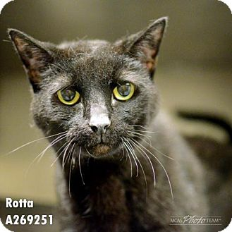 Domestic Mediumhair Cat for adoption in Conroe, Texas - ROTTA
