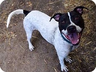 Pointer/American Pit Bull Terrier Mix Dog for adoption in Saginaw, Michigan - Claire