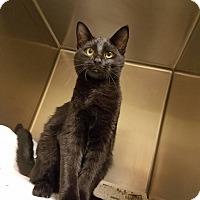 Domestic Shorthair Cat for adoption in Windsor, Virginia - Rut-Rut