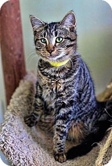 Domestic Shorthair Cat for adoption in Markham, Ontario - McGee