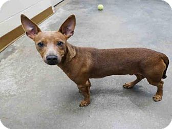 Chihuahua Dog for adoption in Texas City, Texas - TACO