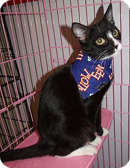 Domestic Shorthair Cat for adoption in Somerset, Kentucky - Gail