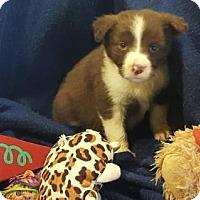 Adopt A Pet :: Veronica - Vacaville, CA