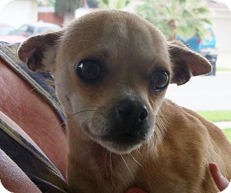 Chihuahua Mix Dog for adoption in San Diego, California - Pam URGENT