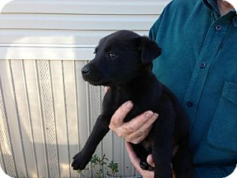 Labrador Retriever Mix Puppy for adoption in Salem, New Hampshire - One Potato, Two Potato...