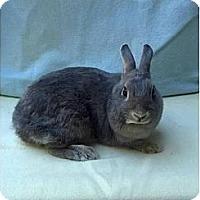 Adopt A Pet :: Pikachu - Williston, FL