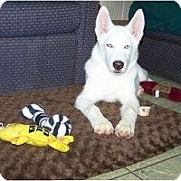 Adopt A Pet :: Ice - Antioch, IL