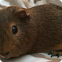 Adopt A Pet :: Cocoa Puffs - Steger, IL