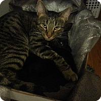 Domestic Shorthair Cat for adoption in Warren, Michigan - Dover (bonded w/Denver)