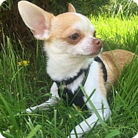 Adopt A Pet :: Pino Adoption Pending Congrats Nicholas! - Hewitt, NJ