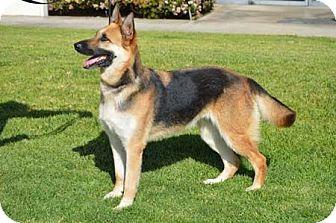 German Shepherd Dog Dog for adoption in Irvine, California - Ellie