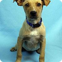 Adopt A Pet :: PEDRO - Westminster, CO