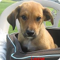 Adopt A Pet :: Louise - Glastonbury, CT