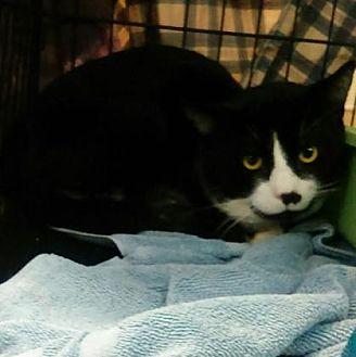Domestic Mediumhair Cat for adoption in Santa Paula, California - Mark