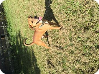 Rhodesian Ridgeback/Labrador Retriever Mix Dog for adoption in Oviedo, Florida - Russell