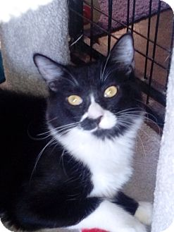 Domestic Shorthair Cat for adoption in YOUNGTOWN, Arizona - Frankie