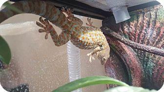 Gecko for adoption in Aurora, Illinois - Fu