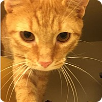 Domestic Shorthair Kitten for adoption in Grand Ledge, Michigan - Ru