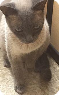 Tonkinese Cat for adoption in Glendale, Arizona - Lady Chatterly