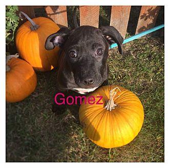 Labrador Retriever/Terrier (Unknown Type, Medium) Mix Puppy for adoption in Joliet, Illinois - Gomez