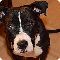 Adopt A Pet :: Rachel - New York, NY