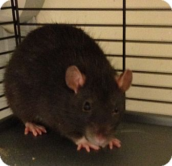Rat for adoption in Navarre, Florida - Noodles