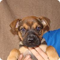 Adopt A Pet :: Boomer - Oviedo, FL