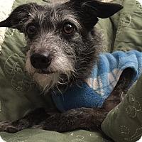Adopt A Pet :: Daisy - Sweet & Mellow - Bend, OR