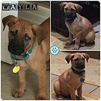 Adopt A Pet :: Wayla - Kimberton, PA