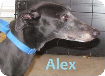 Greyhound Dog for adoption in Fremont, Ohio - Alex