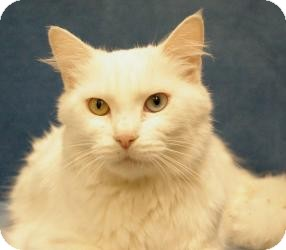 Turkish Angora Cat for adoption in Sacramento, California - Sofia