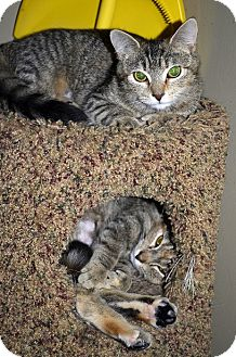 Domestic Shorthair Cat for adoption in Xenia, Ohio - Ella & Emma