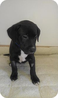 Labrador Retriever Mix Puppy for adoption in Waldorf, Maryland - Kingsford