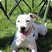 Pit Bull Terrier Mix Puppy for adoption in North Haledon, New Jersey - Daisey
