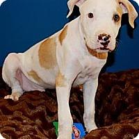 Adopt A Pet :: Prentis - Gilbert, AZ