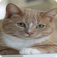 Adopt A Pet :: Vanilla Ice - El Cajon, CA