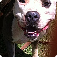 American Staffordshire Terrier Mix Dog for adoption in Blanchard, Oklahoma - Levi