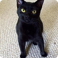 American Shorthair Cat for adoption in Olive Branch, Mississippi - Emilia (Mallett Foster)