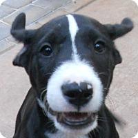 Adopt A Pet :: Baby Harper - Oakley, CA