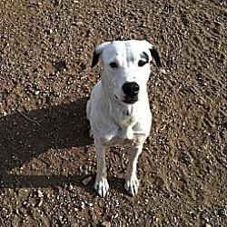 Photo 3 - Dalmatian/Shepherd (Unknown Type) Mix Puppy for adoption in Acton, California - Bella Donna