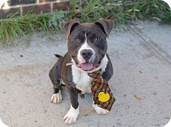 Staffordshire Bull Terrier Mix Dog for adoption in Ridgewood, New Jersey - BRODY