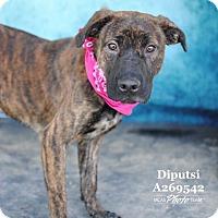 Adopt A Pet :: MS. DIPUTSI - Conroe, TX