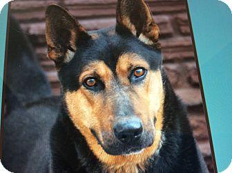 German Shepherd Dog Dog for adoption in Los Angeles, California - SAMPSON VON SACHSEN