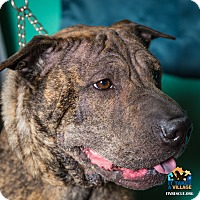 Shar Pei Mix Dog for adoption in Evansville, Indiana - Lilly