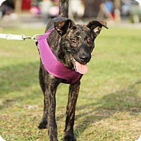 Greyhound/Italian Greyhound Mix Puppy for adoption in San Francisco, California - Luna