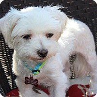 Adopt A Pet :: Annie Puppymill - Encino, CA