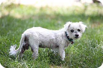 Poodle (Miniature)/Bichon Frise Mix Dog for adoption in Troy, Michigan - Sugar